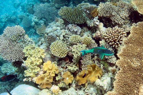 pez loro en arrecife de coral