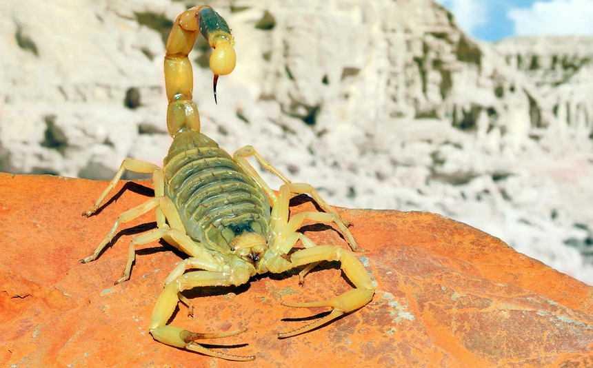 escorpión amarillo