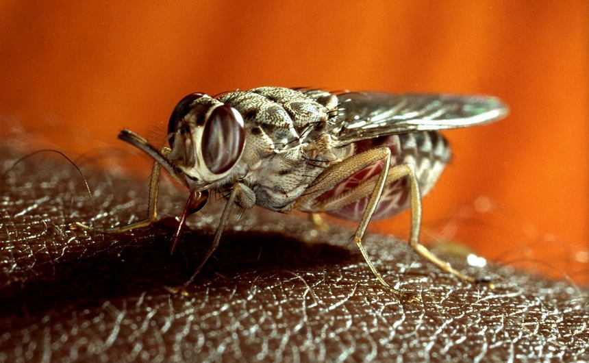 mosca tsetse