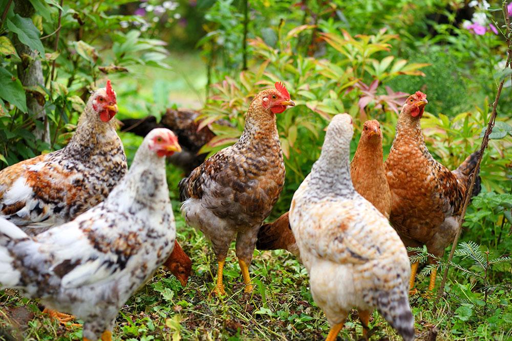 alimentación gallinas